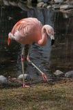De Chileense flamingo & x28; Phoenicopteruschilensis royalty-vrije stock afbeeldingen