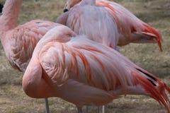 De Chileense flamingo & x28; Phoenicopteruschilensis royalty-vrije stock fotografie