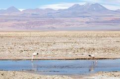 De Chileense flamingo's bij de Chaxa-Lagune, Chili Stock Afbeeldingen