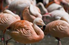De Chileense Flamingo's van Colorfull Royalty-vrije Stock Afbeeldingen