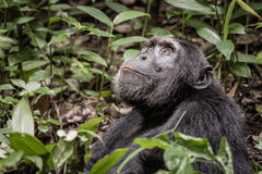 De chimpansee glimlacht en onderzoekt de hemel Stock Foto