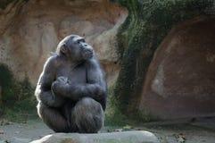 De chimpansee met trots en belangrijk ziet eruit royalty-vrije stock foto's