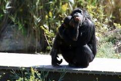De chimpansee van de baby en van de moeder Royalty-vrije Stock Fotografie