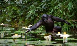 De chimpansee verzamelt bloemen. Royalty-vrije Stock Foto's