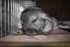 De chinchilla van de slaap Royalty-vrije Stock Afbeeldingen