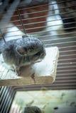 De chinchilla van het babyhuisdier Stock Foto