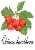 De Chinese illustratie van het haagdoornfruit royalty-vrije stock fotografie