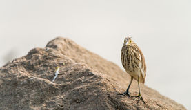 De Chinese vogel van de Vijverreiger Stock Afbeelding