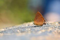 De Chocolade Koninklijke vlinder Royalty-vrije Stock Fotografie
