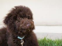 De chocoladebruine hond van het labradoodlepuppy legt op het gras Stock Foto's