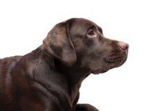 De chocoladekleur van Labrador op een witte achtergrond Stock Fotografie