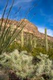 De Chollacactus, de ocotilloinstallaties en de saguarocactus groeien samen langs Ajo-Bergaandrijving in Arizona in Nationale Orga stock foto