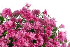De chrysant bloeit met dauw, die op wit wordt geïsoleerdm royalty-vrije stock foto's