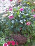 De chrysant is een soort van jaarlijkse en eeuwigdurende kruidachtige installaties van de Astrovye-familie, of Compositae stock fotografie