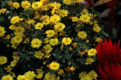 De chrysant toont Royalty-vrije Stock Foto
