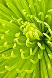 De chrysant van Chartreuse Stock Foto's