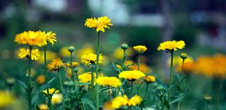 De Chrysant van de bloem Royalty-vrije Stock Fotografie