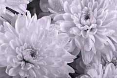 De chrysanten sluiten omhoog Royalty-vrije Stock Foto's