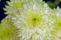 De chrysantenbloemen, sluiten omhoog Royalty-vrije Stock Foto