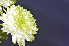 De chrysantenbloemen, sluiten omhoog Stock Foto