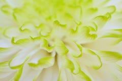 De chrysantenbloemen, sluiten omhoog Stock Fotografie