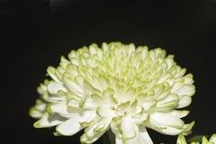 De chrysantenbloemen, sluiten omhoog Royalty-vrije Stock Afbeeldingen