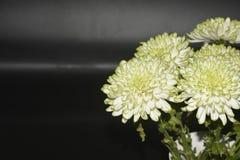 De chrysantenbloemen, sluiten omhoog Stock Afbeelding