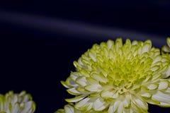 De chrysantenbloemen, sluiten omhoog Royalty-vrije Stock Foto's