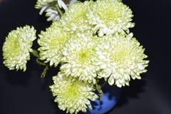 De chrysantenbloemen, sluiten omhoog Royalty-vrije Stock Afbeelding