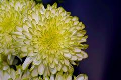 De chrysantenbloemen, sluiten omhoog Royalty-vrije Stock Fotografie
