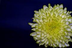 De chrysantenbloemen, sluiten omhoog Stock Foto's