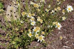 De Chrysantensegetum B van de graangoudsbloem royalty-vrije stock foto