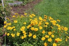 De Chrysantensegetum a van de graangoudsbloem royalty-vrije stock foto