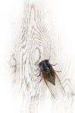 De cicade Royalty-vrije Stock Afbeelding