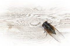 De cicade Royalty-vrije Stock Afbeeldingen