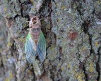 De cicade birthed onlangs, te voorschijn gekomen uit huid, shell Stock Foto's