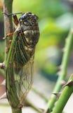 De cicade op boom wordt neergestreken nam in Japanse tuin die toe royalty-vrije stock foto