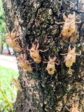 De cicade ruit Stock Afbeeldingen