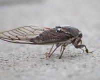 De cicaden zijn een voedselbron in China Royalty-vrije Stock Afbeelding