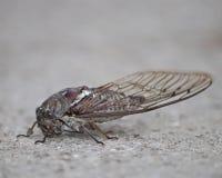 De cicaden zijn zomerinsecten die meestal bij nacht worden gehoord Royalty-vrije Stock Afbeeldingen