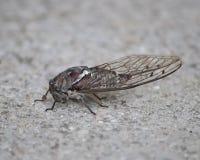 De cicaden zingen bij nacht om roofdieren te vermijden Royalty-vrije Stock Afbeelding