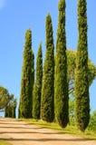 De cipres van Toscanië Stock Foto