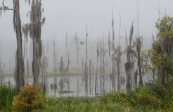De cipresbomen sterven uit wanneer het zoutwater van Meer Pontchartrain het zoetwatermoeras ingaat royalty-vrije stock foto's