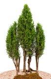 De cipresbomen van de close-up stock afbeeldingen