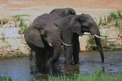 De cirkel van de olifant Stock Foto's