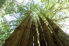 De Cirkel van de sequoia stock fotografie