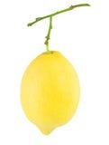 De citroen hangt op een tak Stock Foto's