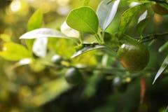 De citroen heeft zure smaak en gekweekt stock foto