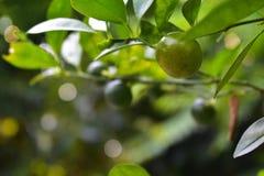 De citroen heeft zure smaak en in de tuin aan kok gekweekt stock afbeeldingen