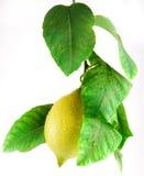 De citroen met doorbladert Stock Foto's